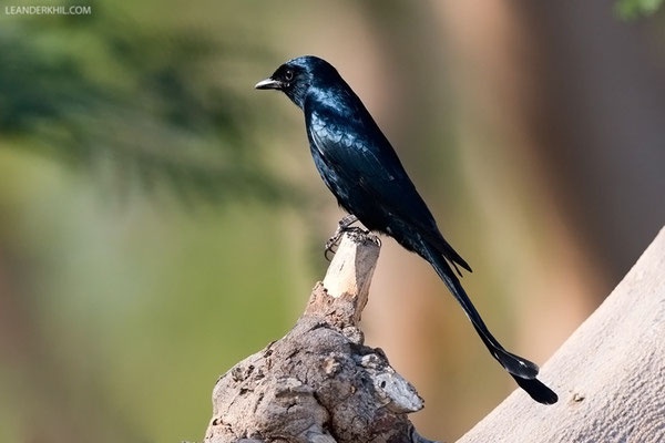 Königsdrongo / Black Drongo (Dicrurus macrocercus) | A vagrant from further east. Zabeel Park, Dubai, February 2016