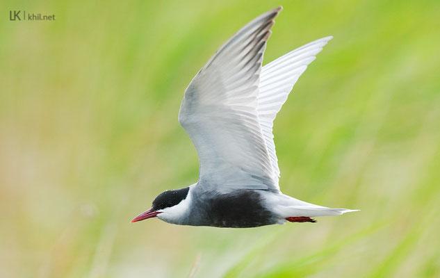 Whiskered Tern / Weißbartseeschwalbe, Seewinkel