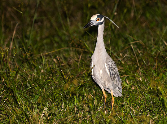 Yellow-crowned night heron / Krabbenreiher (Nyctanassa violacea) | Gallon Jug farm, February 2017