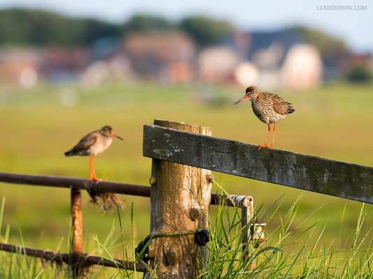 Rotschenkel / Redshank (Tringa totanus) | Hallig Hooge, Germany, June 2016