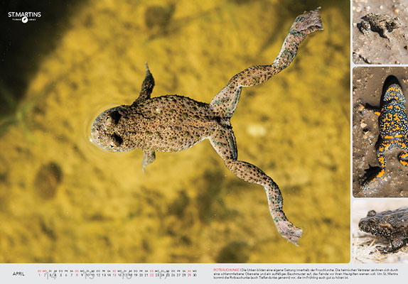 IV Rotbauchunke / Fire-bellied Toad