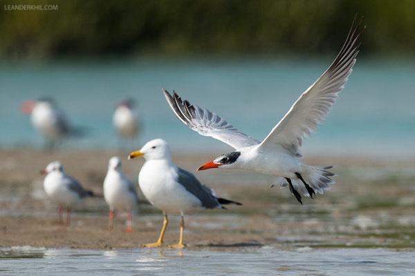 Raubseeschwalbe / Caspian Tern (Hydroprogne caspia) | Qeshm/Iran, February 2016