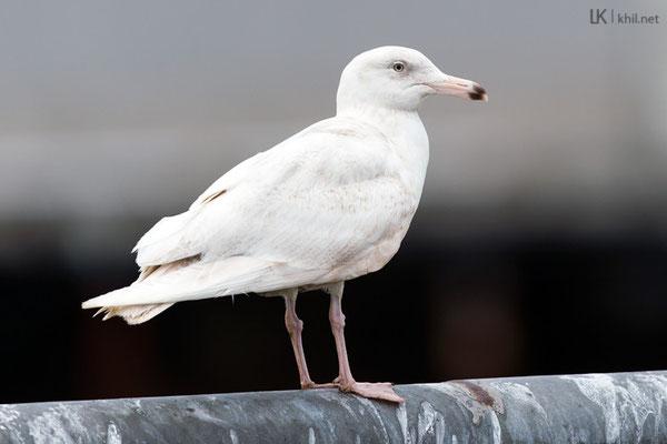 Eismöwe / Glaucous Gull (Larus hyperboreus) | Vardø/Norway, June 2015