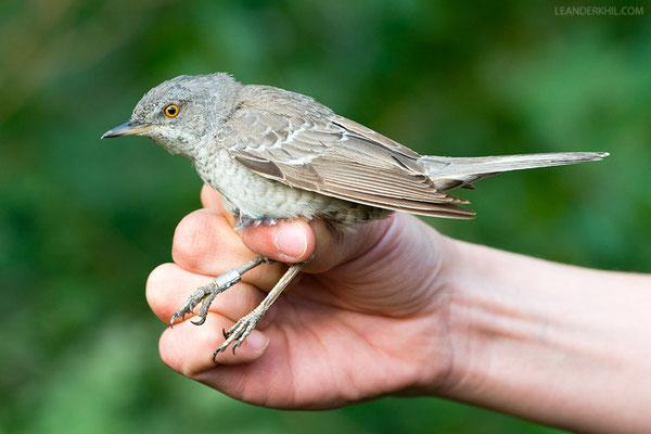Sperbergrasmücke / Barred Warbler