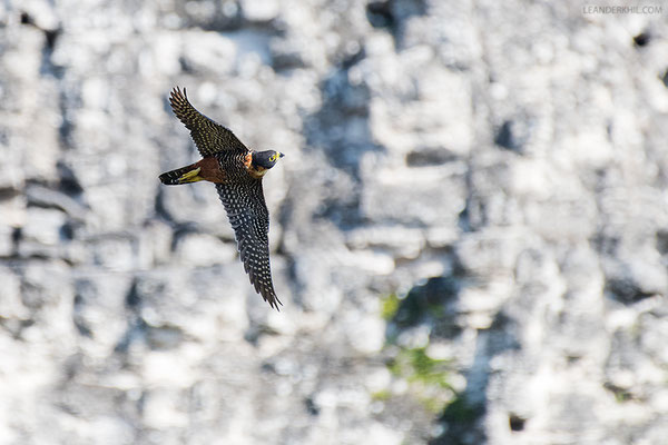 Rotbrustfalke / Orange-breasted Falcon (Falco deiroleucus) | Tikal, December 2016