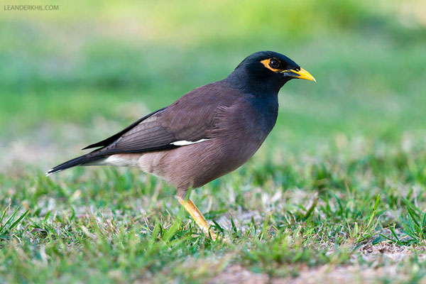Hirtenmaina / Common Myna (Acridotheres tristis) | Safa Park, Dubai, March 2016