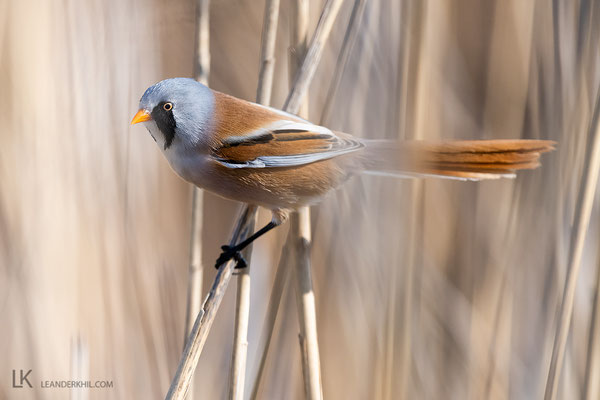 Bearded Reedling / Bartmeise (Panurus biarmicus) | Illmitz, April 2020
