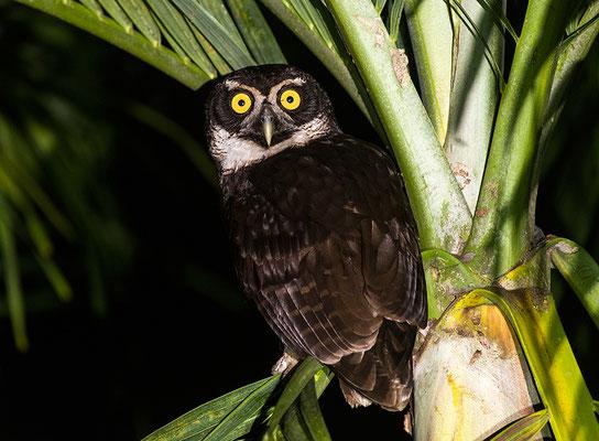 Spectacled owl / Brillenkauz (Pulsatrix perspicillata) | Chan Chich lodge, February 2017