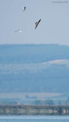 Falkenraubmöwe / Long-tailed Skua (Stercorarius longicaudus) |Chasing Common Terns. Seebad Illmitz, September 2016