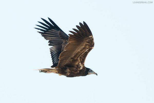 Schmutzgeier / Egyptian Vulture (Neophron percnopterus) | Second calendar-year. Qeshm, Iran, 2016