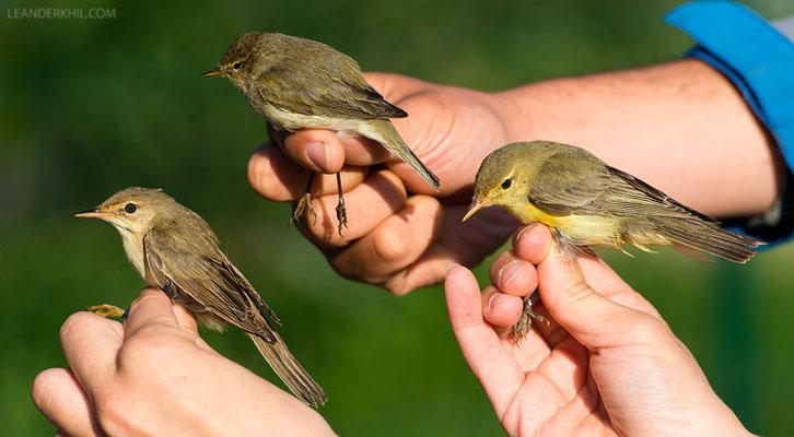Sumpfrohrsänger, Zilpzalp, Gelbspötter / Marsh Warbler, Chiffchaff, Icterine Warbler