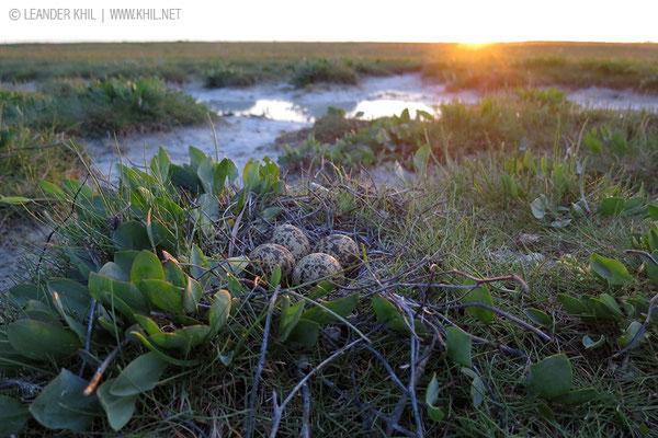 Kiebitz / Northern Lapwing (Vanellus vanellus) | Nest. Lange Lacke, 2014