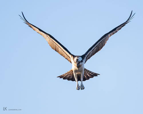 Osprey / Fischadler (Pandion haliaetus) | Illmitz, April 2020