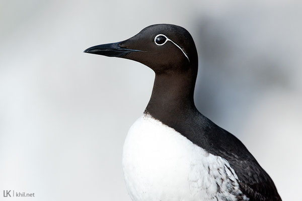 Trottellumme / Common Murre (Uria aalge) | Hornøya/Norway, June 2015