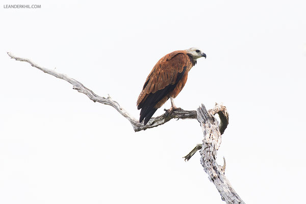 Black-collared Hawk / Fischbussard (Busarellus nigricollis) | Crooked Tree Wildlife Sanctuary/Belize, Februray 2017