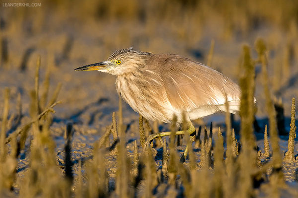 "Paddyreiher / Indian Pond Heron (Ardeola grayii) | We tried to tackle the subject of identification of ""Squacco-typed"" herons in winter plumage on this one but didn't come to a very clear result. Qeshm/Iran, February 2016"