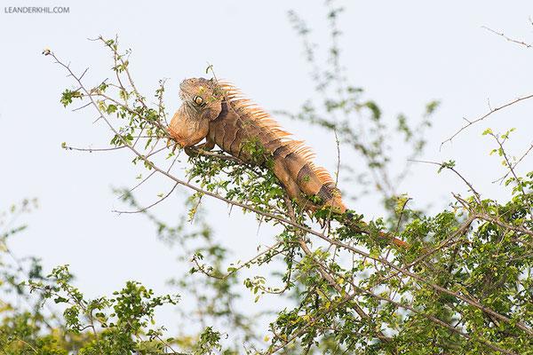 Green Iguana / Grüner Leguan (Iguana iguana) | Crooked Tree Wildlife Sanctuary/Belize, Februray 2017