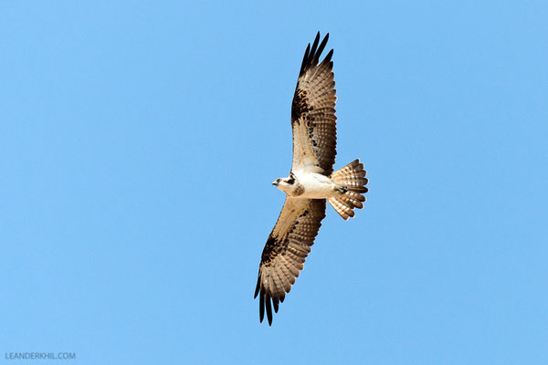 Fischadler / Osprey (Pandion haliaetus) | Creek, Dubai, February 2016