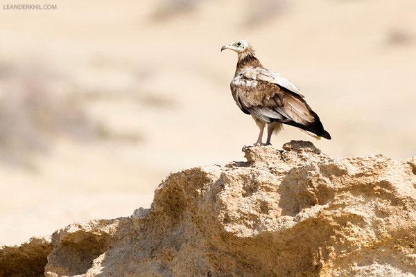 Schmutzgeier / Egyptian Vulture (Neophron percnopterus) | Immature. Qeshm/Iran, February 2016