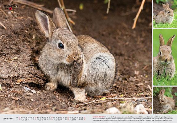IX Wildkaninchen / European Rabbit