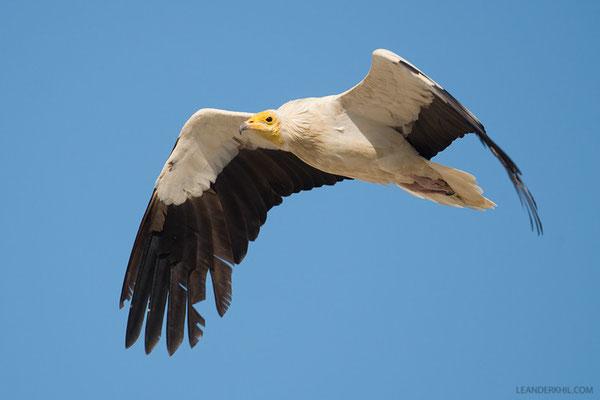Schmutzgeier / Egyptian Vulture (Neophron percnopterus) | Adult. Qeshm, Iran, 2016