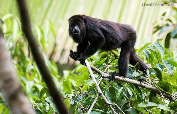 Guatamalan black howler / Guatemala-Brüllaffe (Alouatta pigra) | Chan Chich lodge, February 2017
