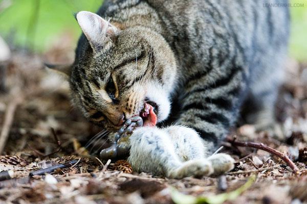 Hauskatze frisst ein Kaninchen / Feral Cat feeding on a wild rabbit | Föhr, Germany, June 2016
