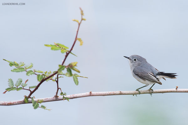 Blue-grey Gnatcatcher / Blaumückenfänger (Polioptila caerulea) | Crooked Tree Wildlife Sanctuary/Belize, Februray 2017