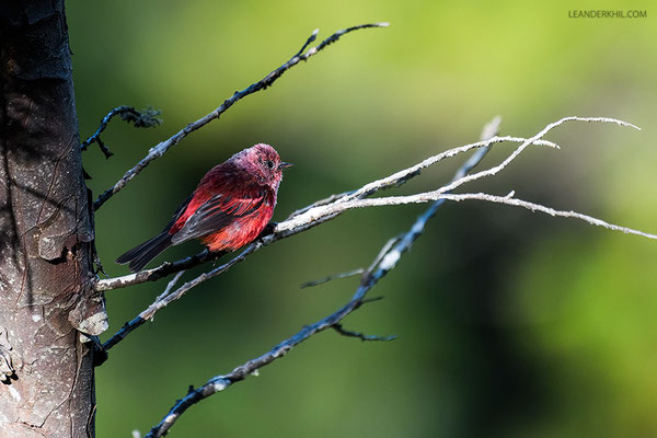 Pink-headed warbler / Rosenwaldsänger (Ergaticus versicolor) | Todos Santos, August 2018