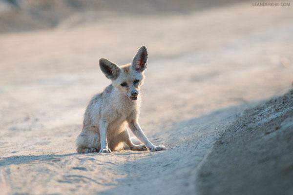 Fox - anyone knows the species?   Qeshm, Iran, 2016
