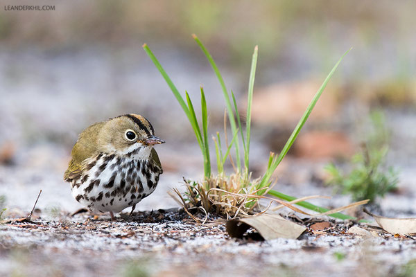 Ovenbird / Pieperwaldsänger (Seiurus aurocapilla) | Crooked Tree Wildlife Sanctuary/Belize, Februray 2017