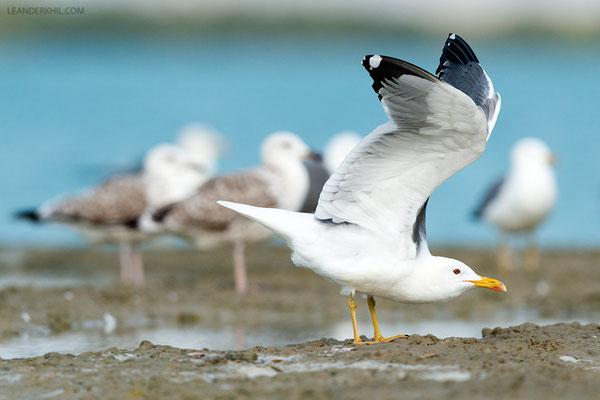 Barabamöwe / Steppe Gull (Larus [fuscus/cachinnans] barabensis) | Adult. Qeshm/Iran, February 2016