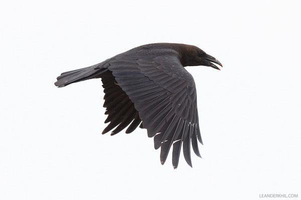 Wüstenrabe / Brown-necked Raven (Corvus ruficollis) | Qeshm/Iran, February 2016