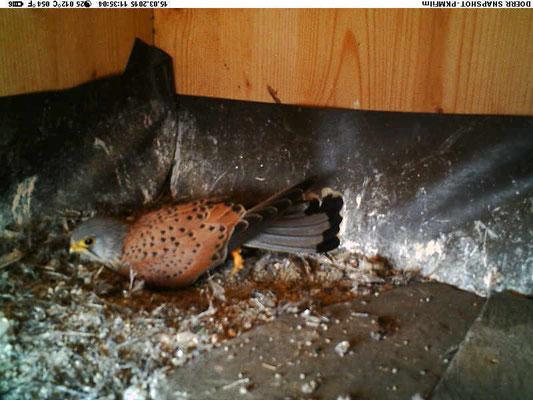 Turmfalken-Männchen beim symbolischen Scharren einer Nestmulde