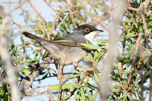 Tamariskengrasmücke / Menetrie's Warbler (Sylvia mystacea) | Male. Qeshm/Iran, February 2016