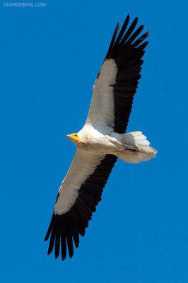 Schmutzgeier / Egyptian Vulture (Neophron percnopterus) | Adult. Qeshm/Iran, February 2016