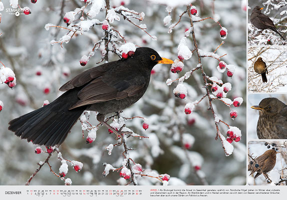XII Amsel / Common Blackbird