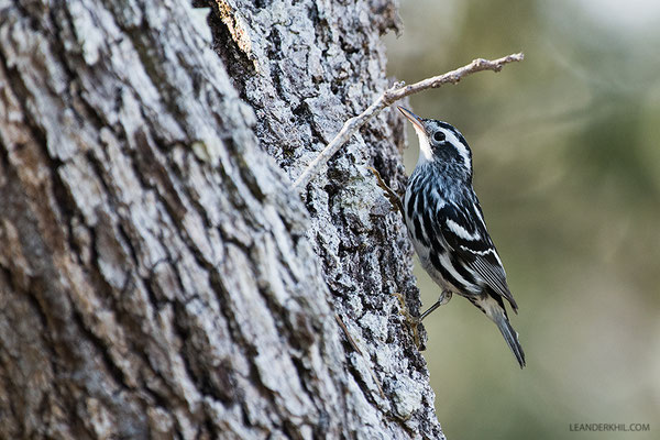 Black-and-White Warbler / Kletterwaldsänger (Mniotilta varia) | Crooked Tree Wildlife Sanctuary/Belize, Februray 2017
