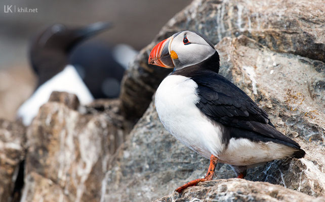Papageitaucher / Puffin (Fratercula arctica) | Hornøya/Norway, June 2015