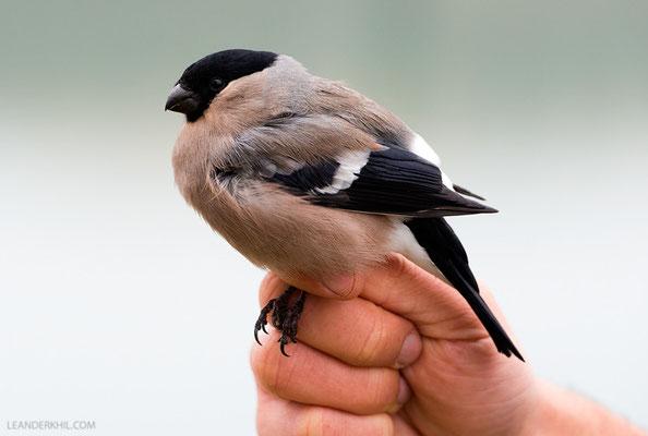 Gimpel / Bullfinch