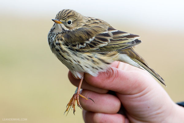 Wiesenpieper / Meadow Pipit (Anthus pratensis)