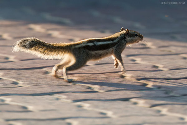 Palmenhörnchen / Indian Palm Squirrel (Funambulus palmarum) ? | An introduced taxon from India. Safa Park, Dubai, March 2016