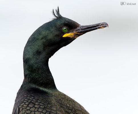 Krähenscharbe / Shag (Phalacrocorax aristotelis) | Hornøya/Norway, June 2015