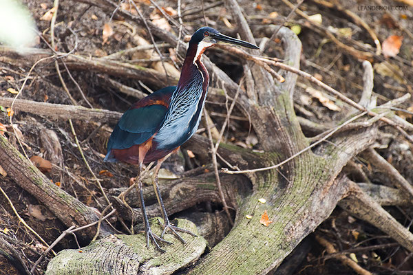 Agami Heron / Speerreiher (Agamia agami) | Crooked Tree Wildlife Sanctuary/Belize, Februray 2017