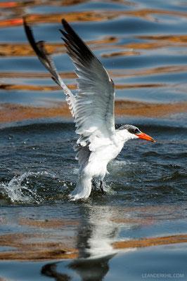 Raubseeschwalbe / Caspian Tern (Hydroprogne caspia) | Creek, Dubai, February 2016