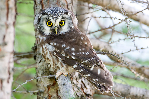 Raufußkauz / Tengmalm's Owl (Aegolius funereus) | Grödner Joch, South Tyrol, August 2015