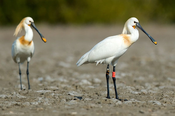 Löffler / Eurasian Spoonbill (Platalea leucorodia) | This bird was ringed as a nestling in the mangroves where have seen it, a couple of years earlier. Qeshm/Iran, February 2016