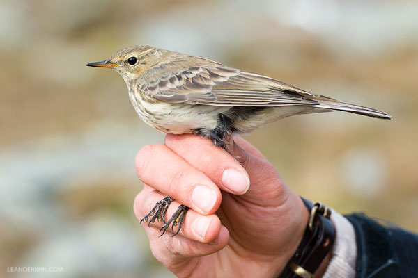 Bergpieper / Water Pipit (Anthus spinoletta)