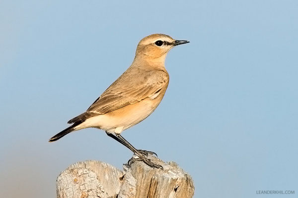 Isabellsteinschmätzer / Isabelline Wheatear (Oenanthe isabellina) | Probably female. Qeshm/Iran, February 2016