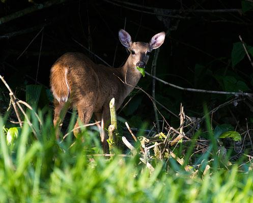 White-tailed deer / Weißwedelhirsch (Odocoileus virginianus) | Chan Chich lodge, February 2017